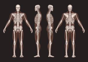 This image shows four skeletons. While there osteopathy and chiropractic differences, both work with the spine.